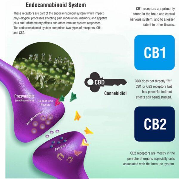 Endocannabinoid Receptors and Cannabinoids